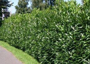 pianta sempreverde siepe lauroceraso