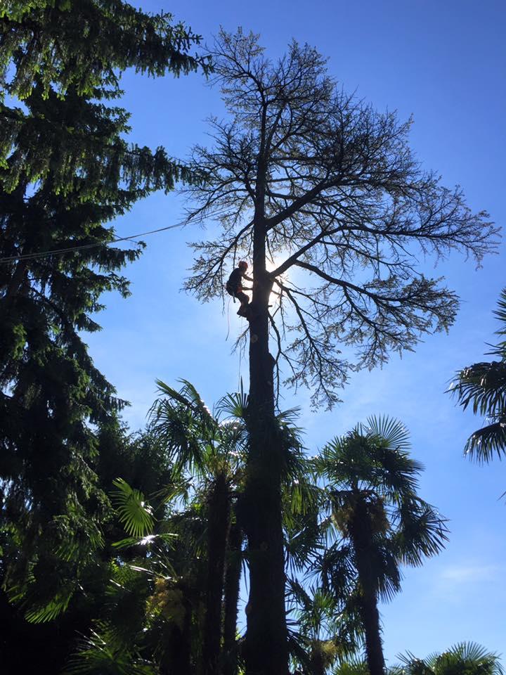 abbattimento-albero-secco-eupilio-002