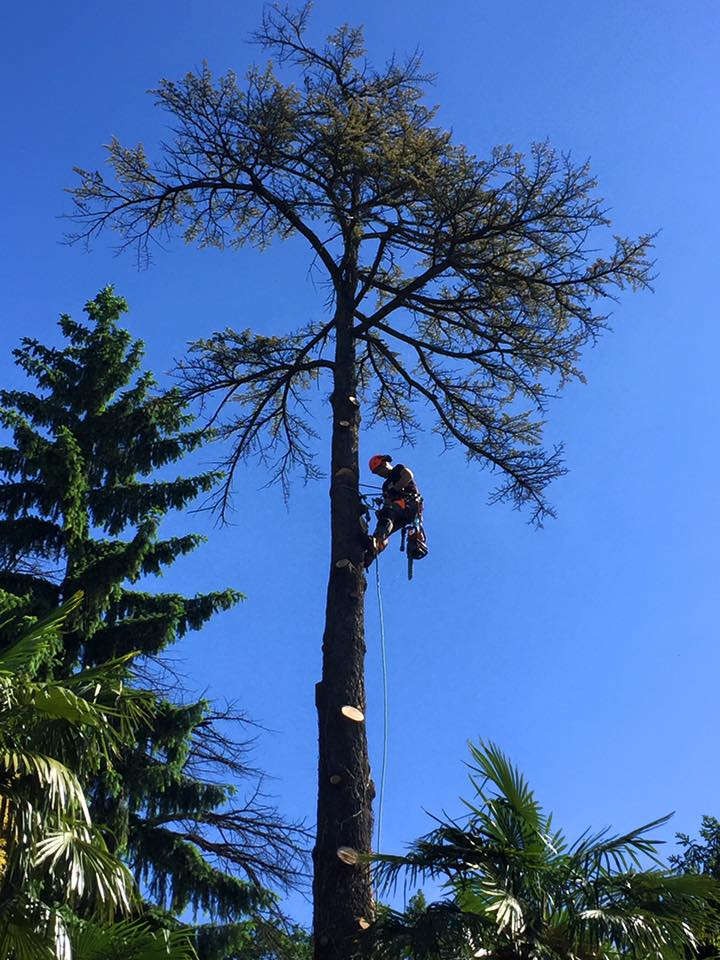 abbattimento-albero-secco-eupilio-004