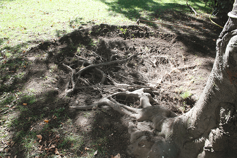 mostrare le radici degli alberi